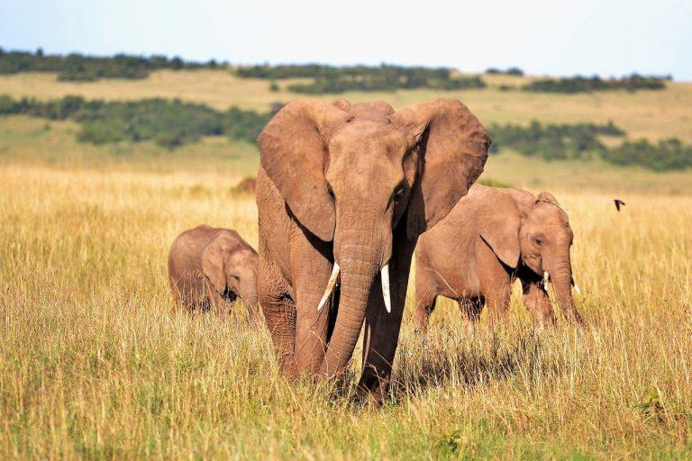 éléphant braconnier Kruger