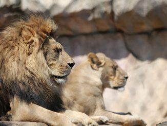 Afrique du Sud : interdiction de l'élevage de lions