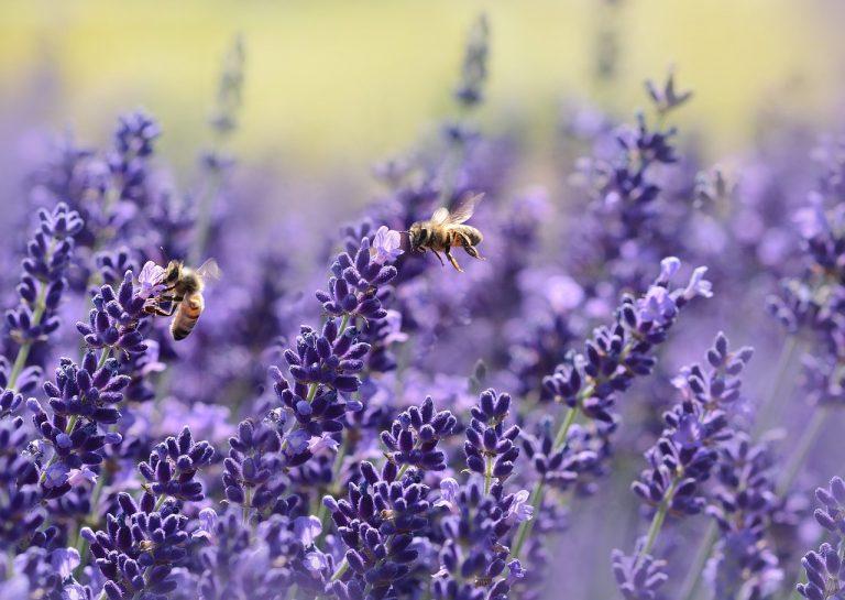 abeilles pesticides
