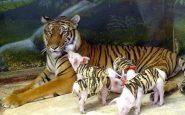 Après avoir perdu des petits, une tigresse adopte des porcelets