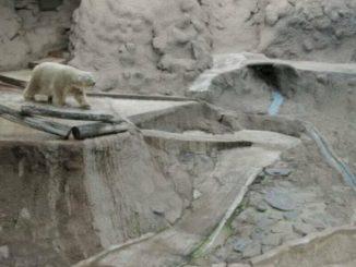 Arturo l'ours polaire : l'animal le plus triste du monde