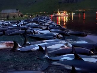 1 500 dauphins ont été tués dans les îles Féroé - un massacre qui dure depuis un certain temps. Des centaines de dauphins ont été abattus dans le cadre de la chasse aux cétacés.