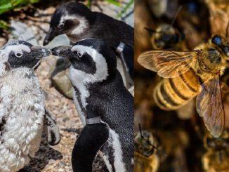 Des abeilles attaquent une colonie de manchots menacés en Afrique du Sud : 63 morts