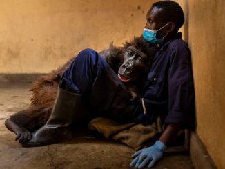 Congo, adieu à Ndakasi : le gorille est mort dans les bras d'un ranger
