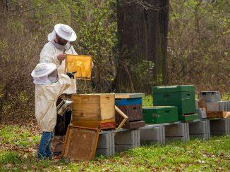 Récolte de miel: Apiculteurs évoquent la baisse de production