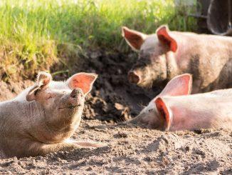 L'aéroport d'Amsterdam: des cochons contribient à sa sécurité contre les oies