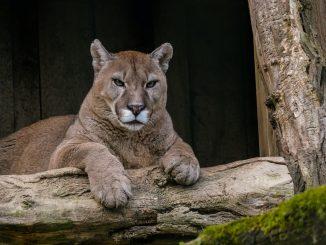 Le Puma d'Auxi toujours recherché